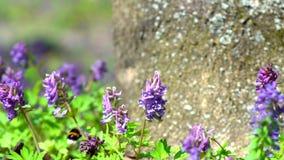 在花的土蜂 影视素材