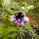 在花的土蜂 免版税库存照片