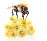 在花的土蜂 免版税图库摄影
