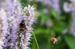 在花的土蜂 图库摄影