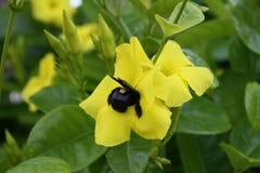 在花的土蜂 库存图片