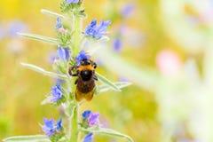 在花的土蜂 免版税库存图片