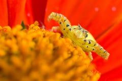 在花的奇怪的螃蟹蜘蛛 库存图片