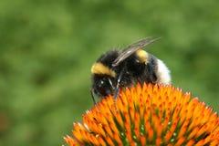 在花的宏观土蜂 免版税库存照片