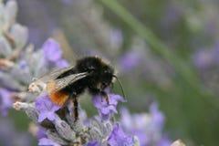 在花的宏观土蜂 免版税图库摄影