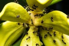 在花的宏观蚂蚁 免版税库存照片