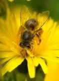 在花的宏观蜂 免版税库存照片
