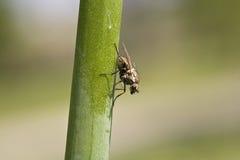 在花的家蝇或苍蝇座domestica 库存照片