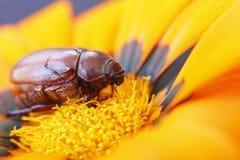 在花的布朗臭虫 库存图片