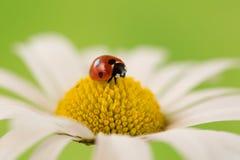 在花的开花的瓢虫 免版税库存图片