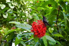 在花的异乎寻常的黑太阳鸟 库存照片