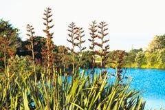 在花的当地新西兰胡麻灌木 免版税库存照片