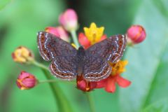 在花的微小的黑和棕色蝴蝶 免版税库存图片