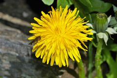 在花的昆虫在宏指令 库存图片