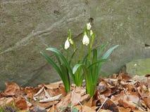 在花的春天雪花 免版税库存照片