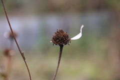 在花的最后瓣 库存图片
