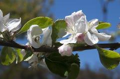 在花的果树 库存照片