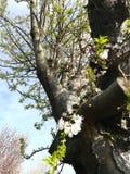 在花的树 图库摄影