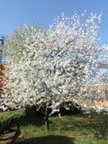 在花的樱桃 图库摄影