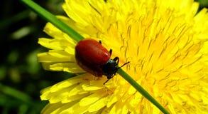在花的深红甲虫 免版税库存照片