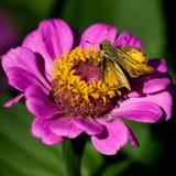 在花的火热的船长蝴蝶送进在庭院里 免版税库存图片