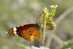在花的特写镜头蝴蝶 免版税库存图片