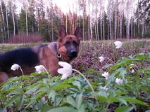 在花的狗 免版税图库摄影