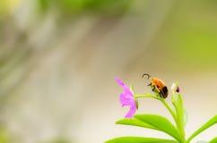 在花的瓢虫选址 免版税图库摄影