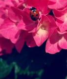 在花的瓢虫-宏指令 库存图片