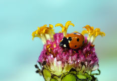 在花的瓢虫 图库摄影