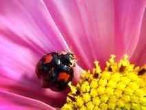 在花的瓢虫 免版税库存照片