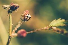 在花的瓢虫 免版税库存图片