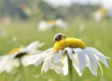 在花的甲虫 图库摄影
