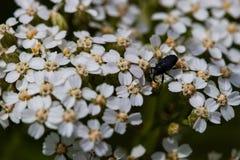 在花的甲虫 免版税图库摄影