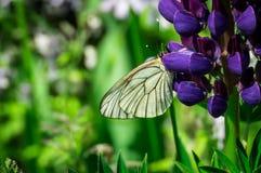 在花的白色蝴蝶 图库摄影