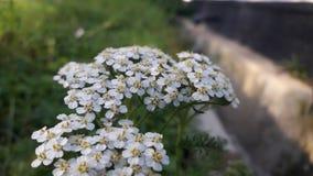 在花的白色颜色100的美丽的花 免版税库存照片