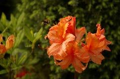 在花的着陆土蜂 免版税库存图片