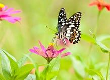 在花的石灰蝴蝶 库存图片