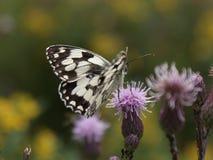 在花的空白蝴蝶 库存图片