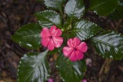 在花的繁忙的丽兹或Impatiens walleriana 图库摄影