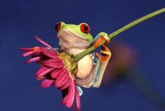 在花的红眼睛的Treefrog 图库摄影