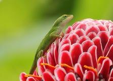 在花的绿色壁虎 免版税库存照片