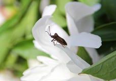在花的臭虫 免版税库存照片