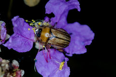 在花的臭虫 库存图片