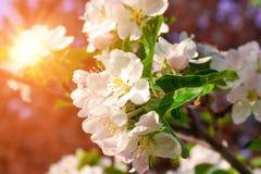 在花的苹果树 免版税库存照片