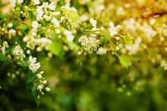 在花的苹果树 库存照片