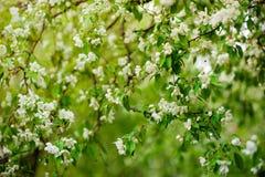 在花的苹果树 库存图片