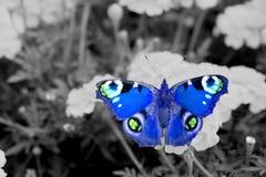 在花的蓝色欧洲孔雀铗蝶 免版税库存照片