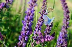 在花的蓝色蝴蝶 免版税库存图片