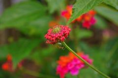 在花的蚂蚁 图库摄影